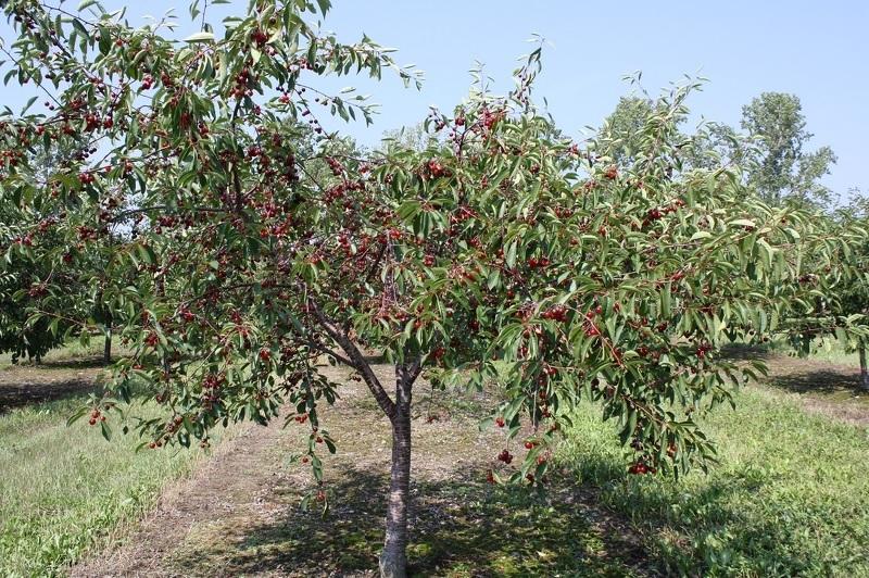 Хорошо плодоносит черешня на солнечном участке с южной стороны