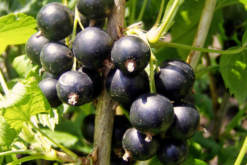 Крупноплодная черная смородина сорта Изюмная