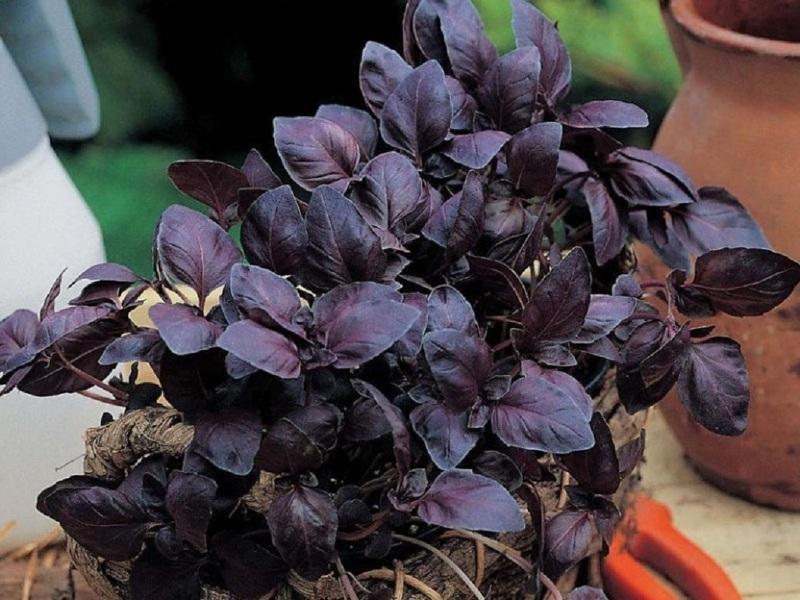 Черный базилик по вкусу напоминает острый чеснок
