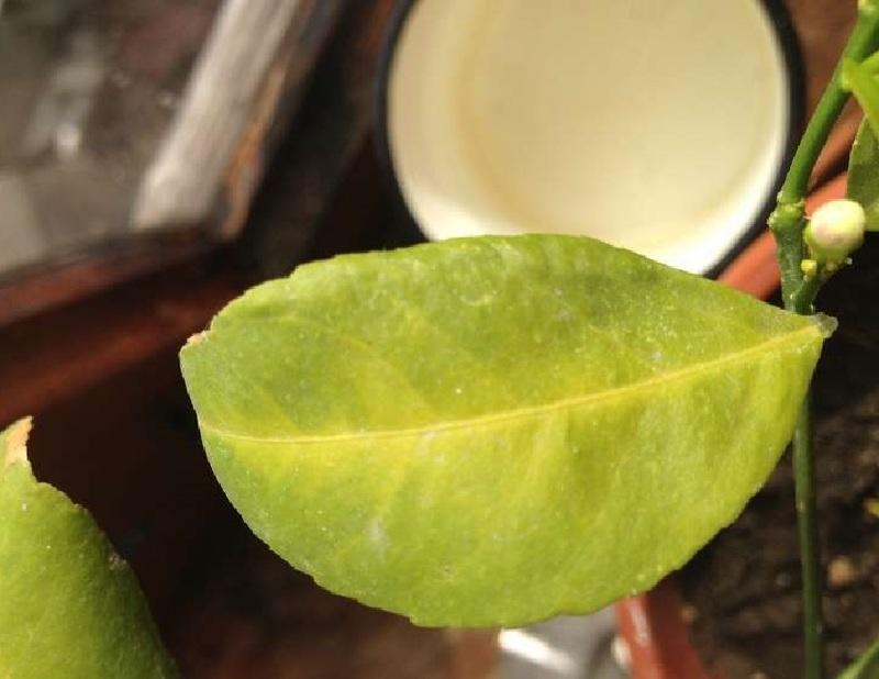 Цвет листьев лимона при недостаточном освещении