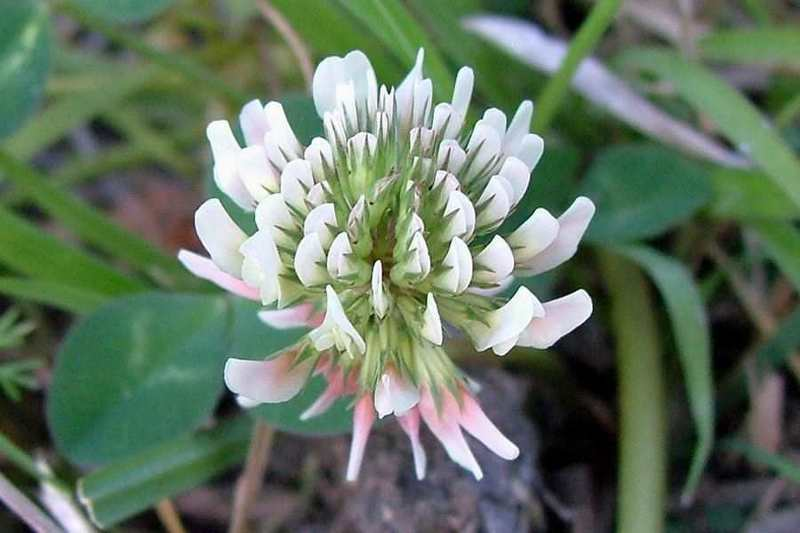 Цветок белого клевера