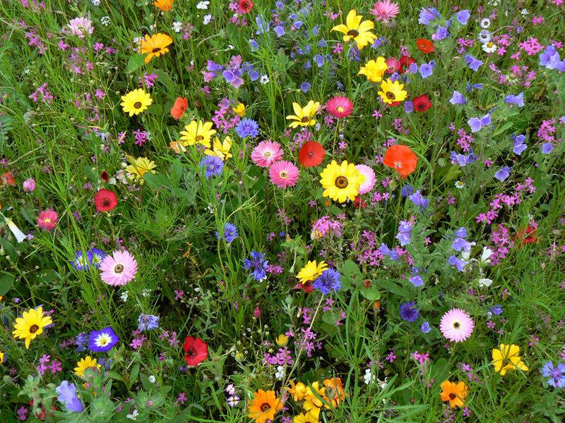 Цветущий газон фото