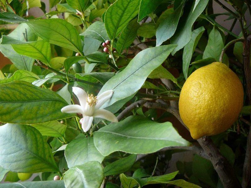 Лимон Павловский в период цветения