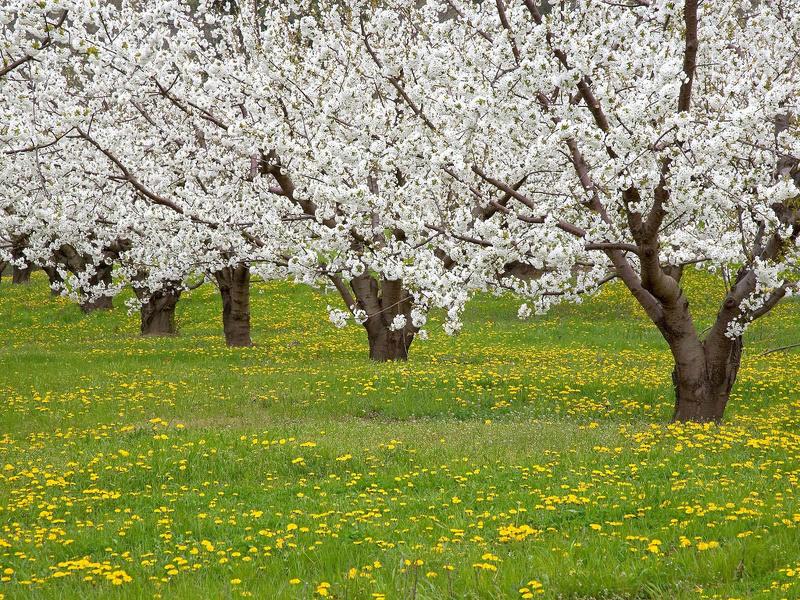 Цветущий весенний сад