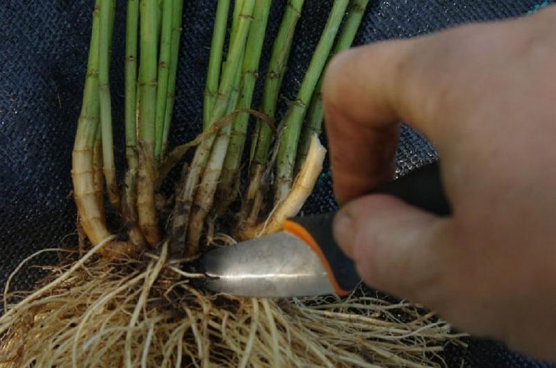 Деление корней флокса для размножения