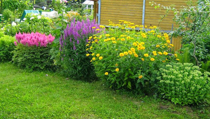 Дербенник хорошо сочетается с любыми высокорослыми цветами