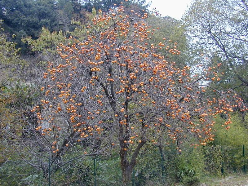 Дерево хурмы сорта Виргинская