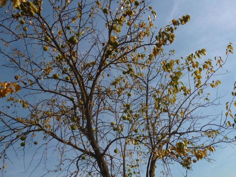 Плоды дерева маклюра созревают осенью и собирать их можно только в перчатках