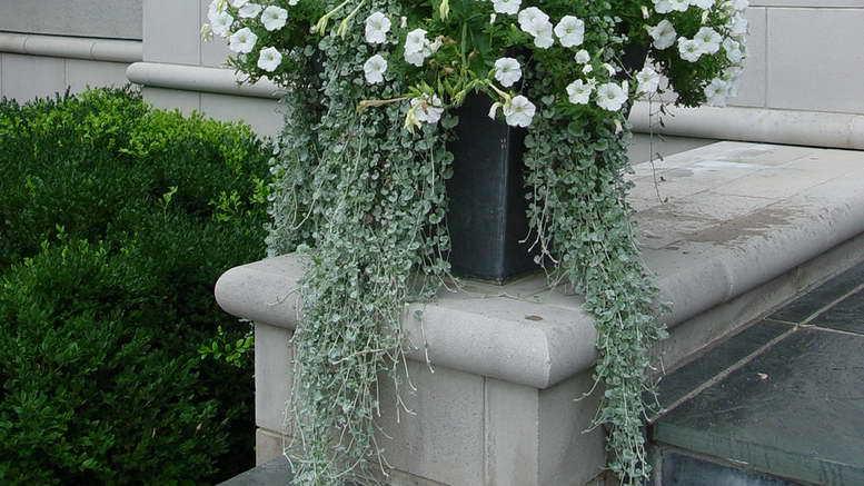 Дихондра серебристая - стелющееся декоративное растение