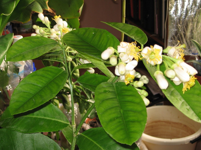 Домашнее лимонное дерево в цвету