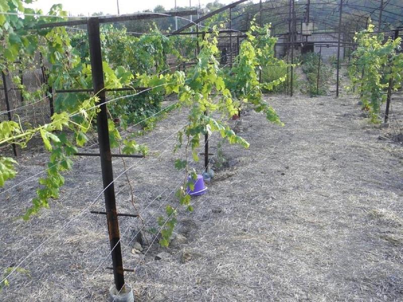 Двухплоскостные шпалеры для винограда своими руками фото
