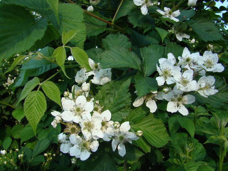 Особенность ежевики Блэк Сатин - изменение раскраски цветков от фиолетового до нежно-белого