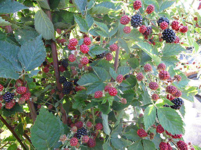 Ежевика Блэк Сатин - высокорослое многолетнее растение, отличается отсутствием шипов и декоративными качествами