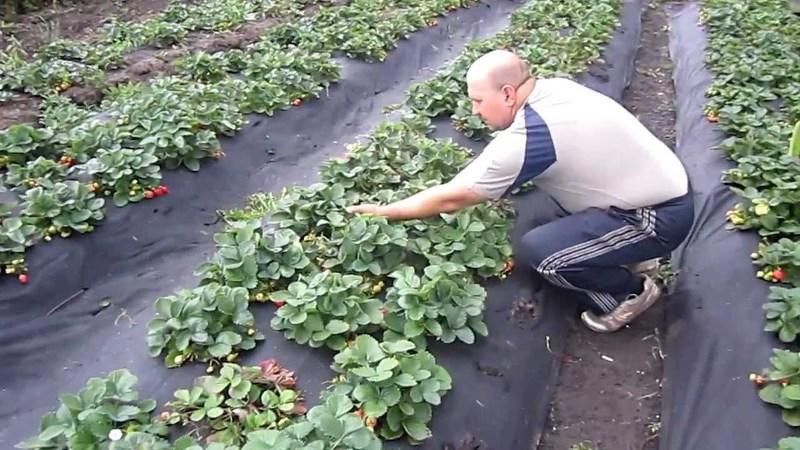 Финская технология выращивани клубники