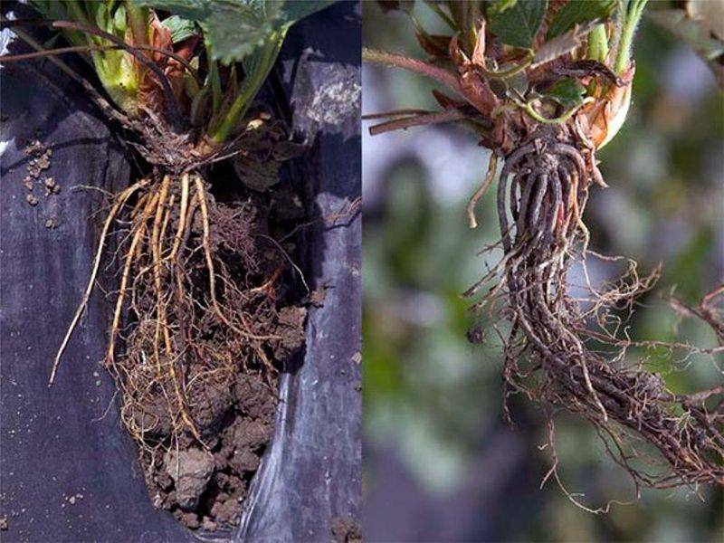 Фитофтороз корней на кустах клубники