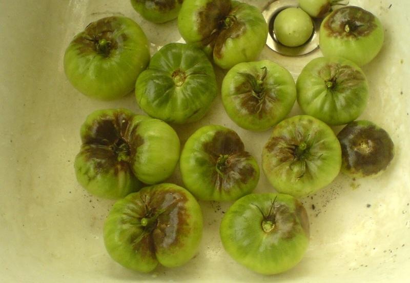 Обработка помидоров от фитофторы органическими средствами с фото
