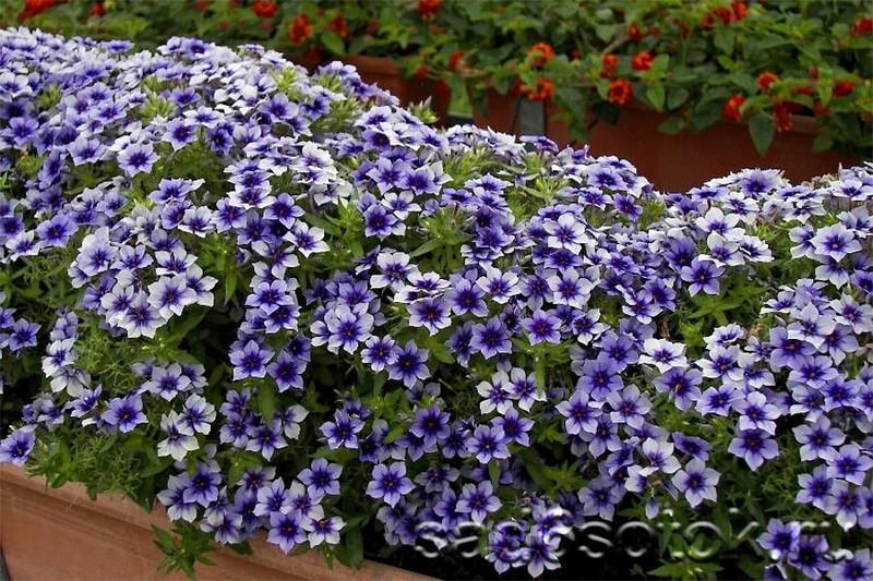 Флокс Друммонда идеально подходит для рокариев, альпинариев и цветочных композиций в саду