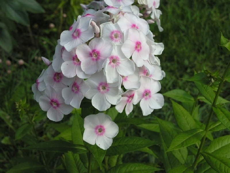 Флокс сорта Европа цветет ярко-белыми цветками