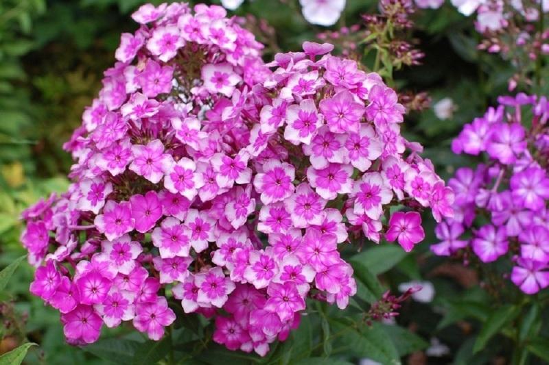 Выращиваем флоксы в саду: посадка, подкормка, мульчирование на зиму