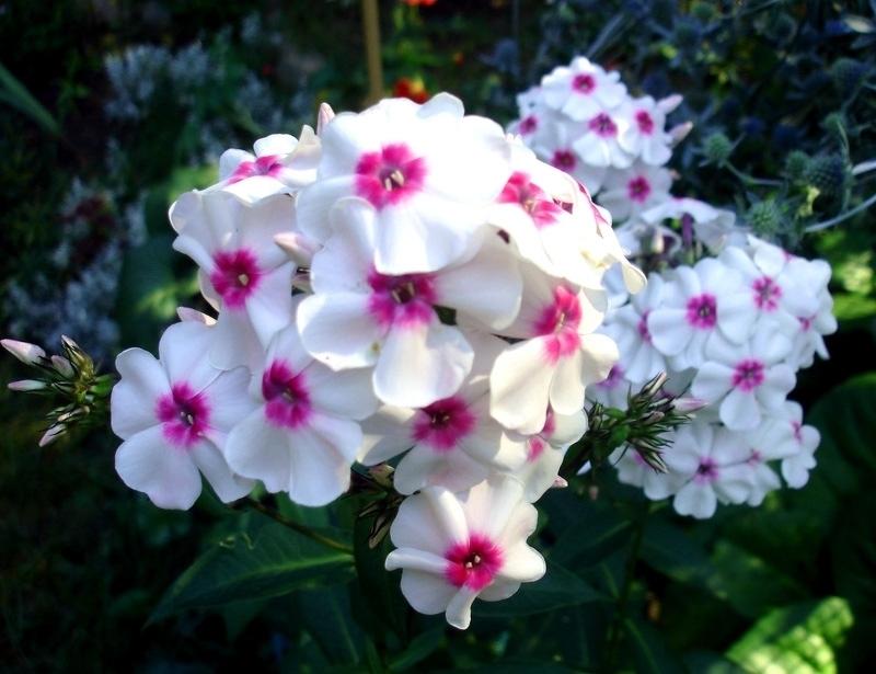 Флоксы сорта Аленушка любимы многими цветоводами