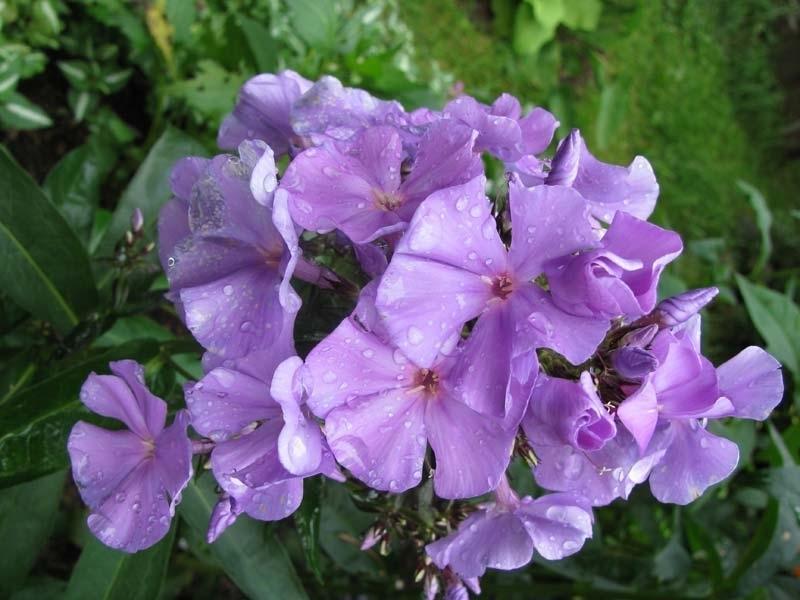 Флоксы сорта Бонни Майд привлекает нежными оттенками цветков