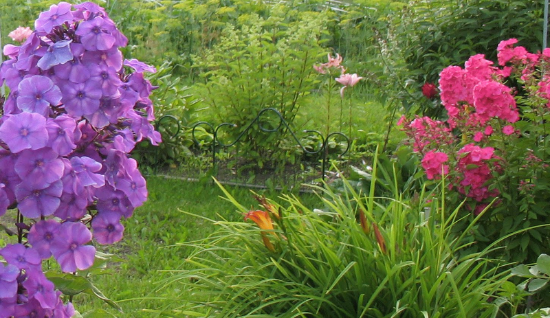 Флоксы будут радовать яркими цветами на протяжении всего лета