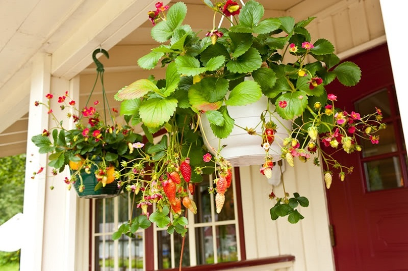 Земляника ампельная в домашних условиях по советам садоводов.