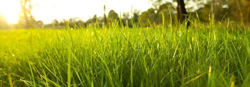 Газонная трава лилипут фото и описание