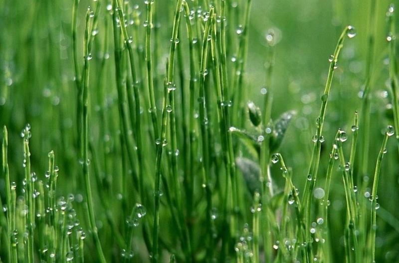 Газонная трава лилипут