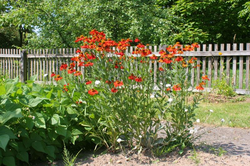 Гелениум выращивают рядом с вечнозеленой хостой или на фоне изгороди