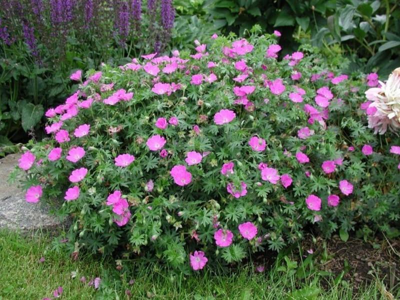Герань в саду цветет на протяжении всего летнего сезона