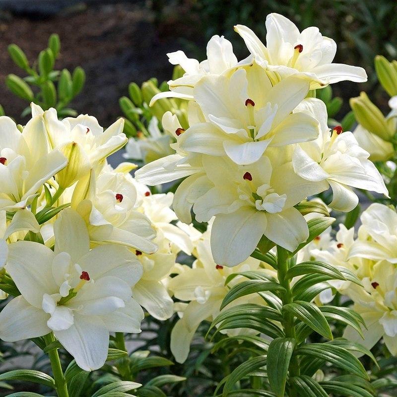 Азиатский гибрид лилии - сорт Аннамирия Дрим