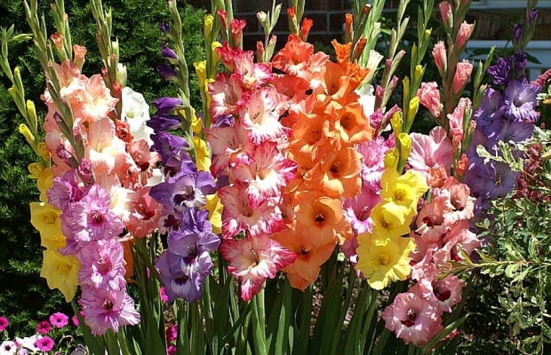 Прекрасные садовые гладиолусы - выращивание и уход