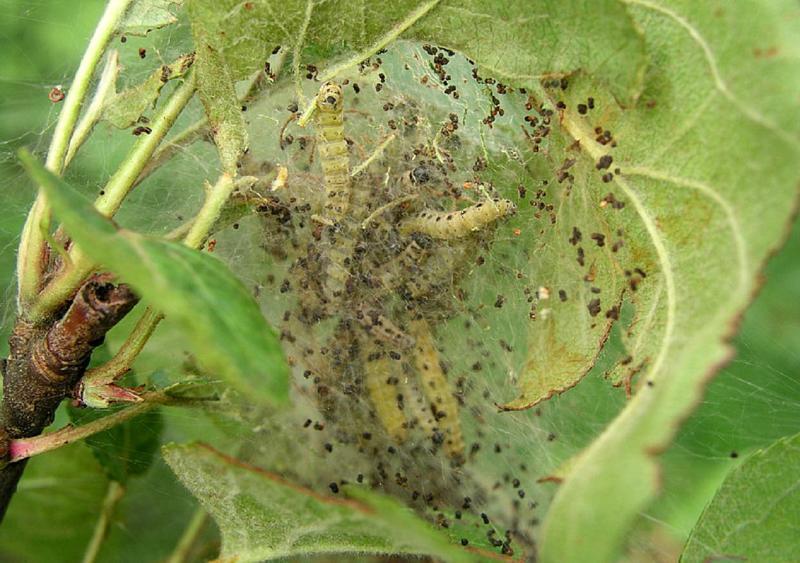 Гнездо гусениц яблоневой моли
