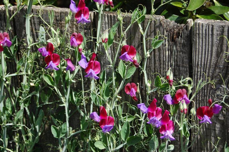 Душистый горошек поражает необычными цветками и великолепным ароматом