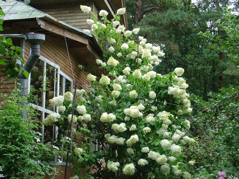 Гортензия черешковая - лиана с великолепными нежными цветками
