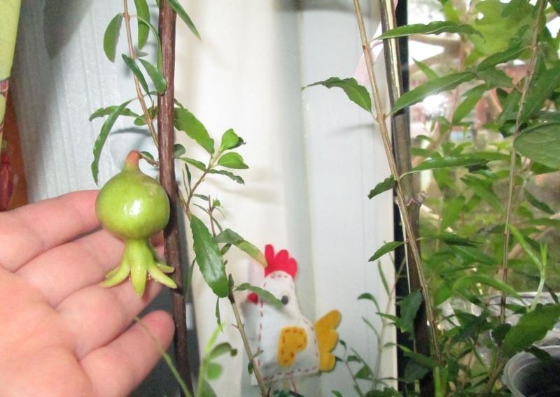 Гранат в домашних условиях: первые плоды