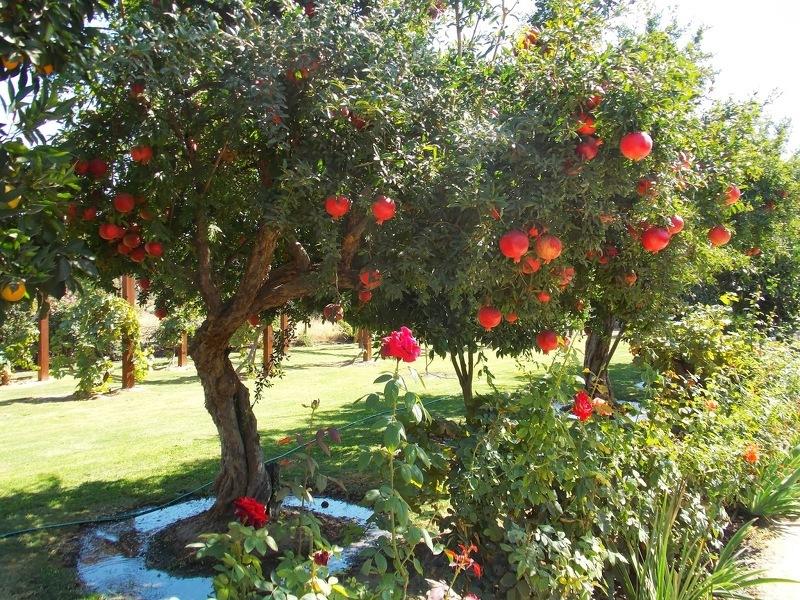 Гранатовое дерево перед сбором урожая