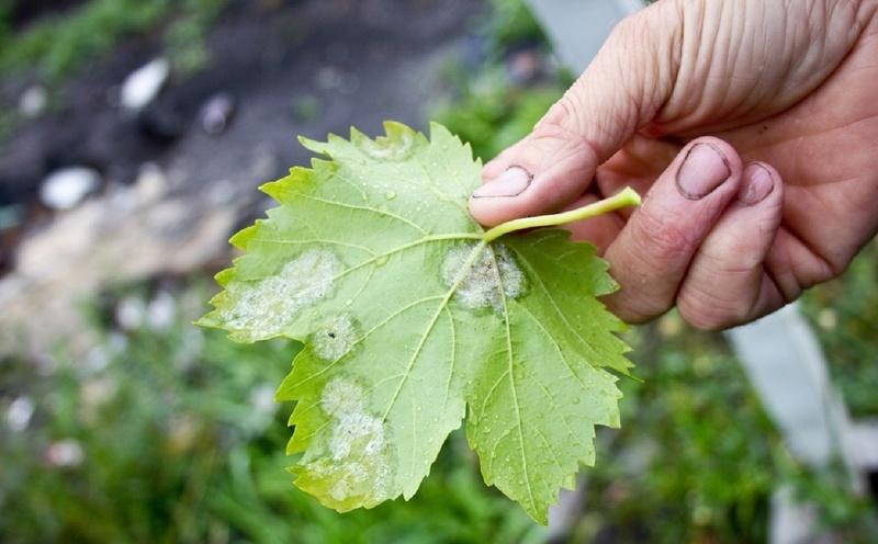 Грибковое заболевание винограда - оидиум или настоящая мучнистая роса