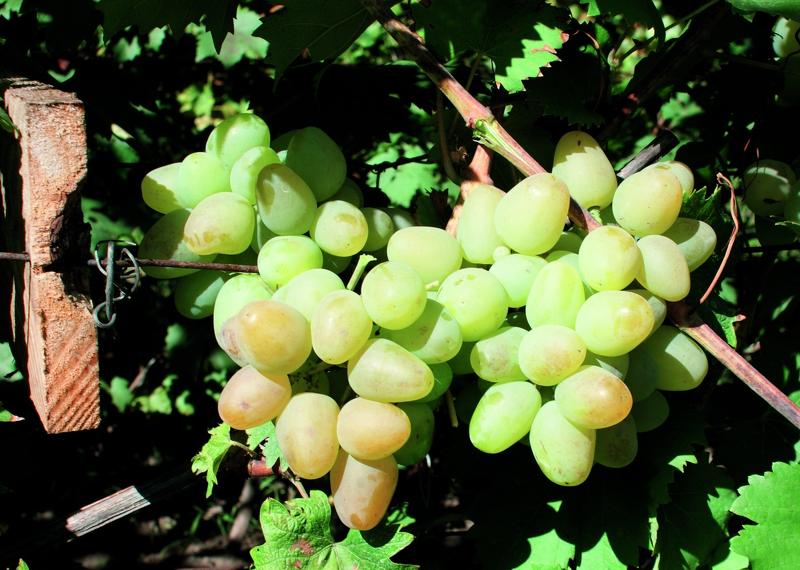 Виноград сорта Аркадия быстро вызревает на удобренной почве