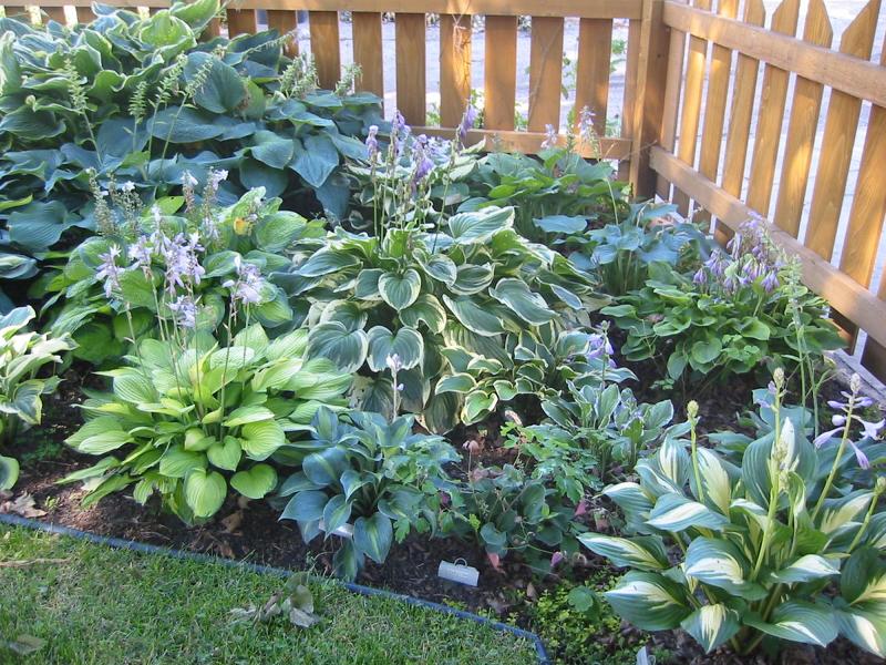 Хосту выбирают в качестве вечнозеленых насаждений, на фоне которой цветы выглядят еще ярче