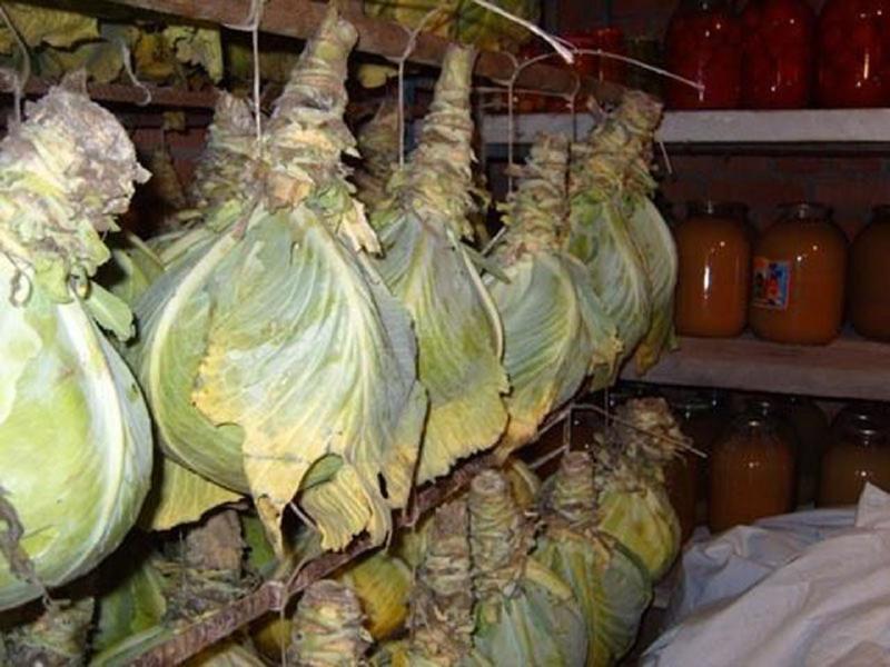 Хранение капусты в подвешенном состоянии