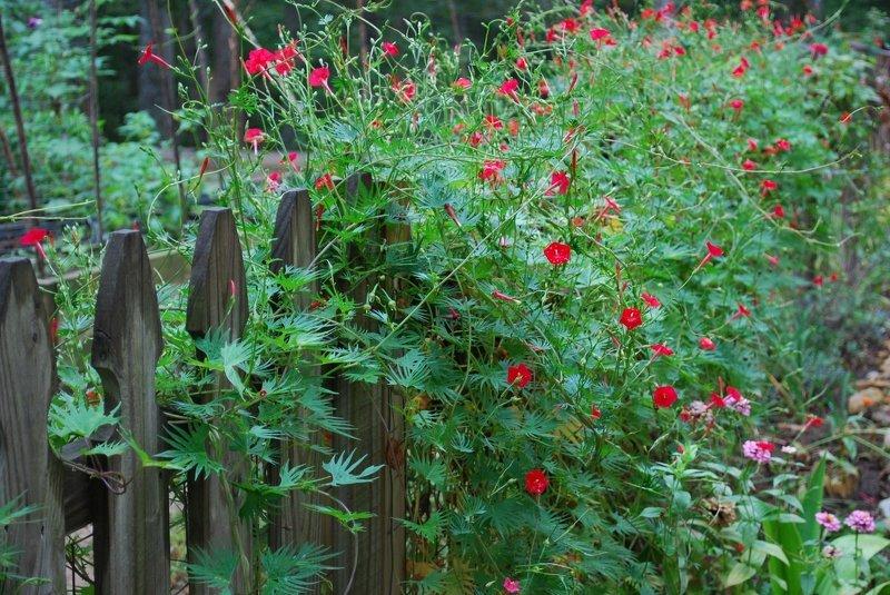Ипомея Квамоклит похожа на цветущий хвойный кустарник
