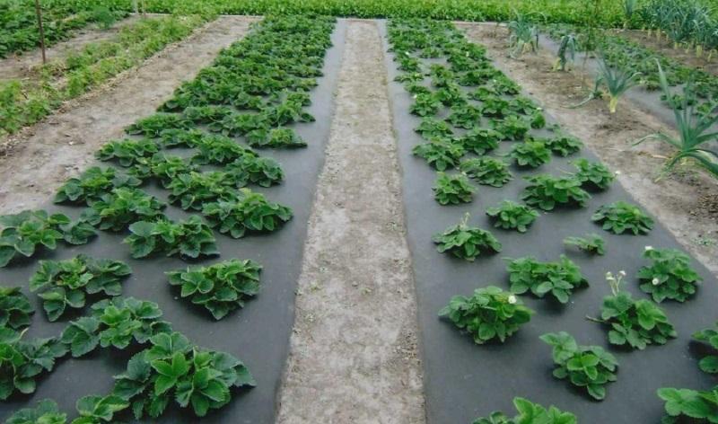 Использование пленки на грядке с клубникой от сорняков