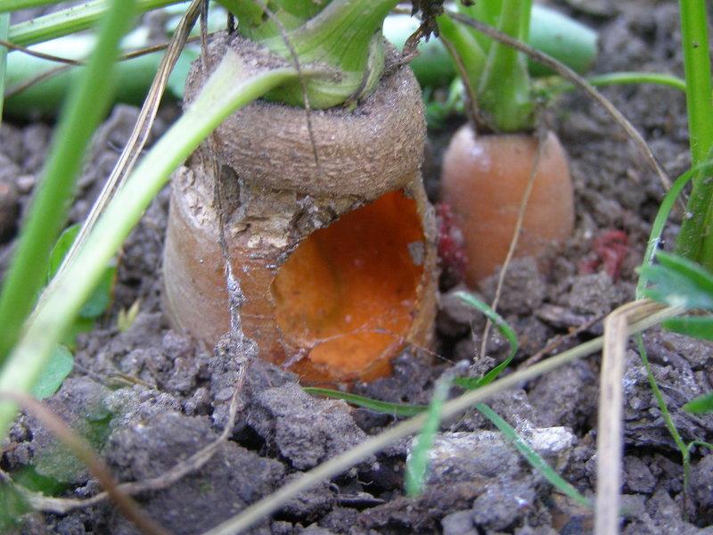 Испорченная медведкой морковь