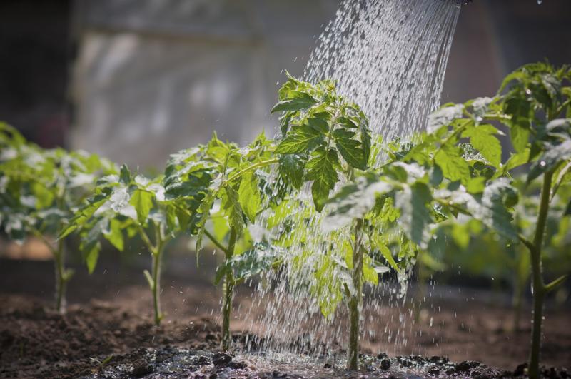 Своевременный полив убережет томаты от скручивания листьев