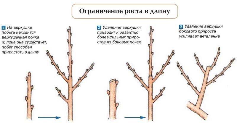 Как ограничить роста ветвей при помощи обрезки