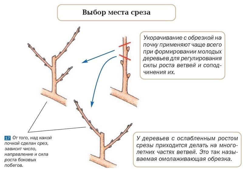 Определяем место среза ветки на почку