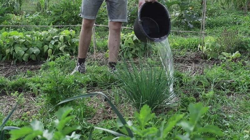 Как полить лук нашатырем