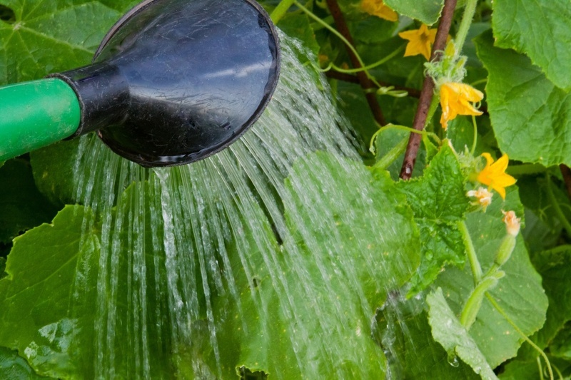 Как поливать огурцы в открытом грунте